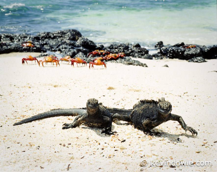 Marine Iguanas and Sally Lightfoot Crabs share the beach,