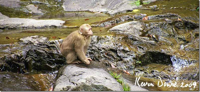 Snow monkey by stream, Huangshan Mountains, China
