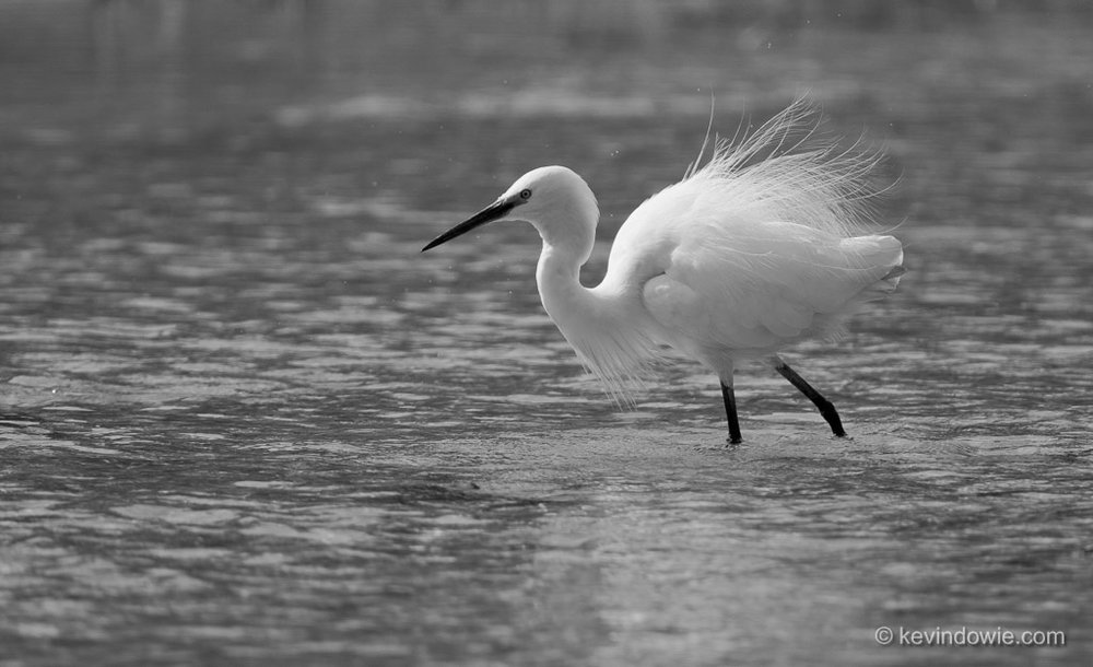 Little Egret, Okavango Delta, Botswana. (black and white).
