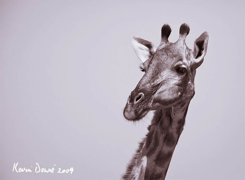 Giraffe portrait,  toned monochrome.