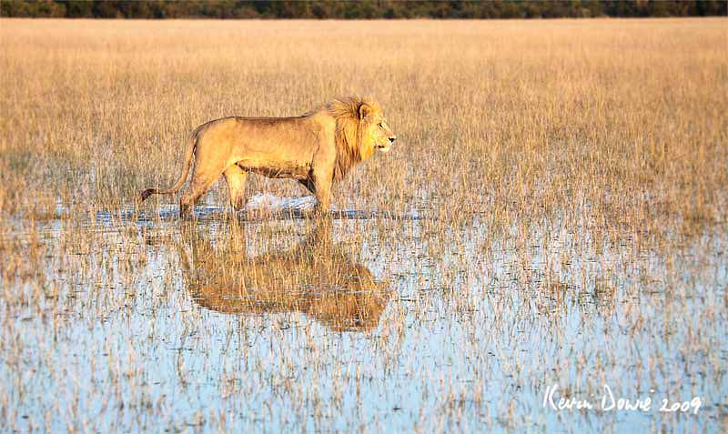 Lion walking through water, Okavango Delta, Botswana