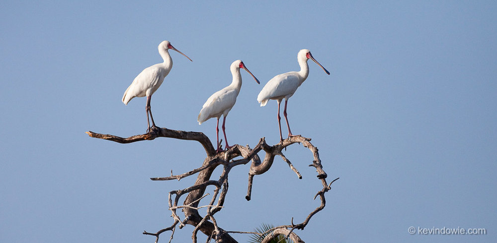 Vantage point for spoonbills