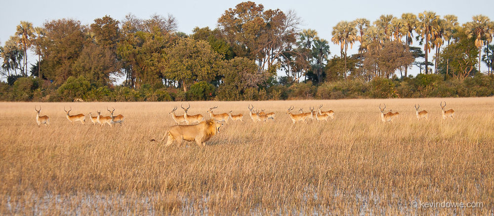 Lion and red lechwe, Okavango Delta, Botswana.