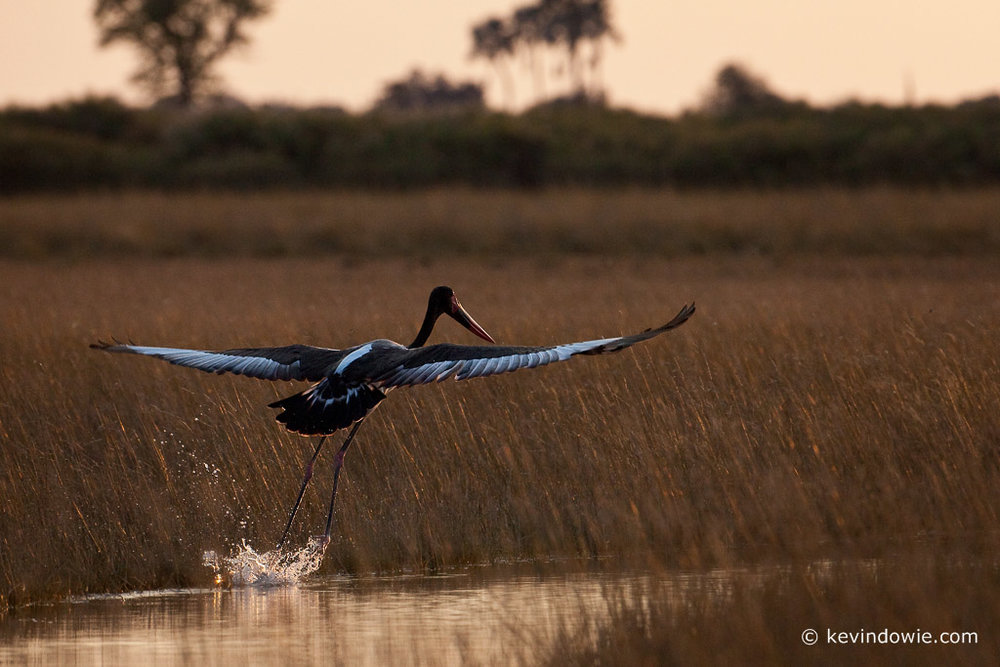 Saddle-billed Stork, taking off, Okavango Delta.