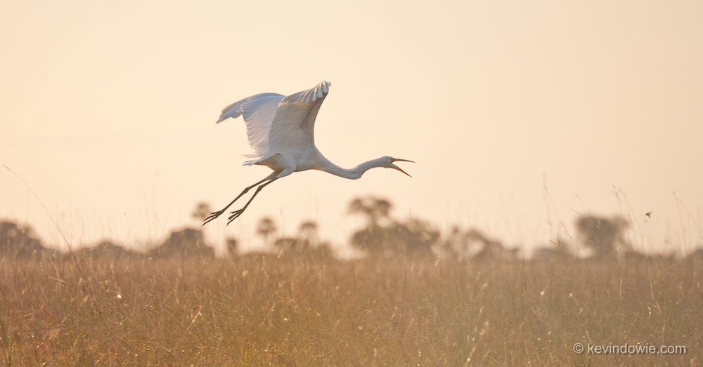 Cattle Egret taking flight, Okavango Delta.