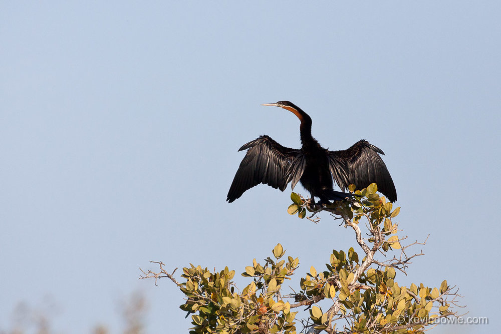 African Darter drying its wings, Okavango Delta, Botswana