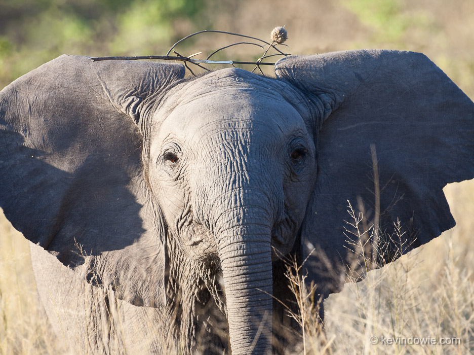 Baby elephant wearing twigs, Chitabe