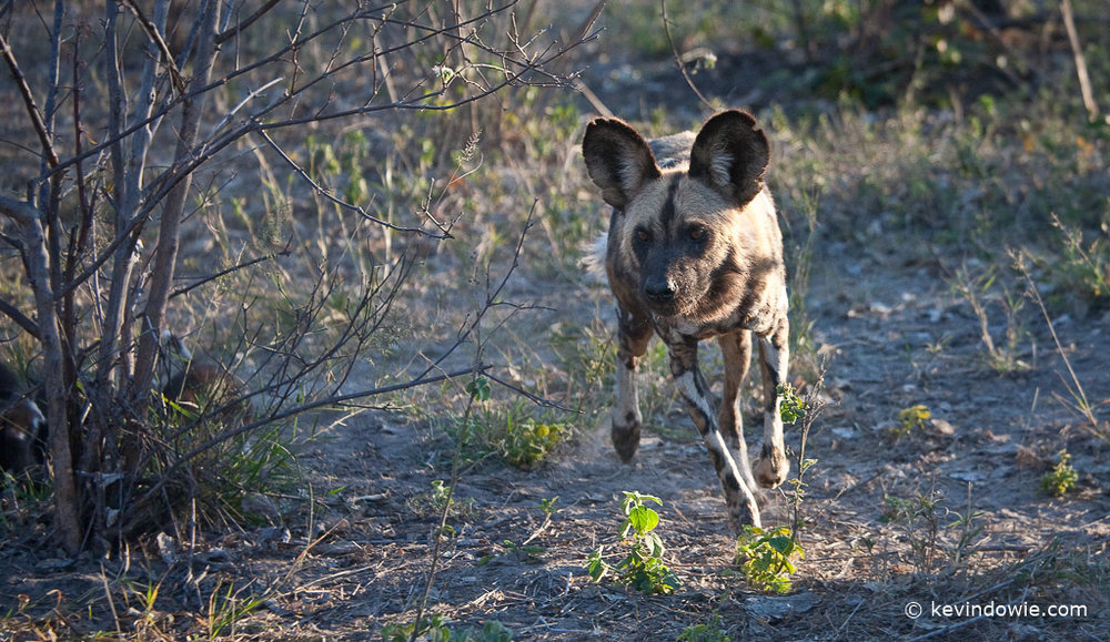 African wild dog, Savuti Channel, Botswana.