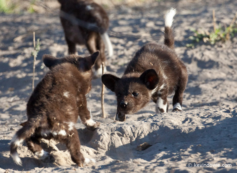 African wild dog pups, sibling rivalry