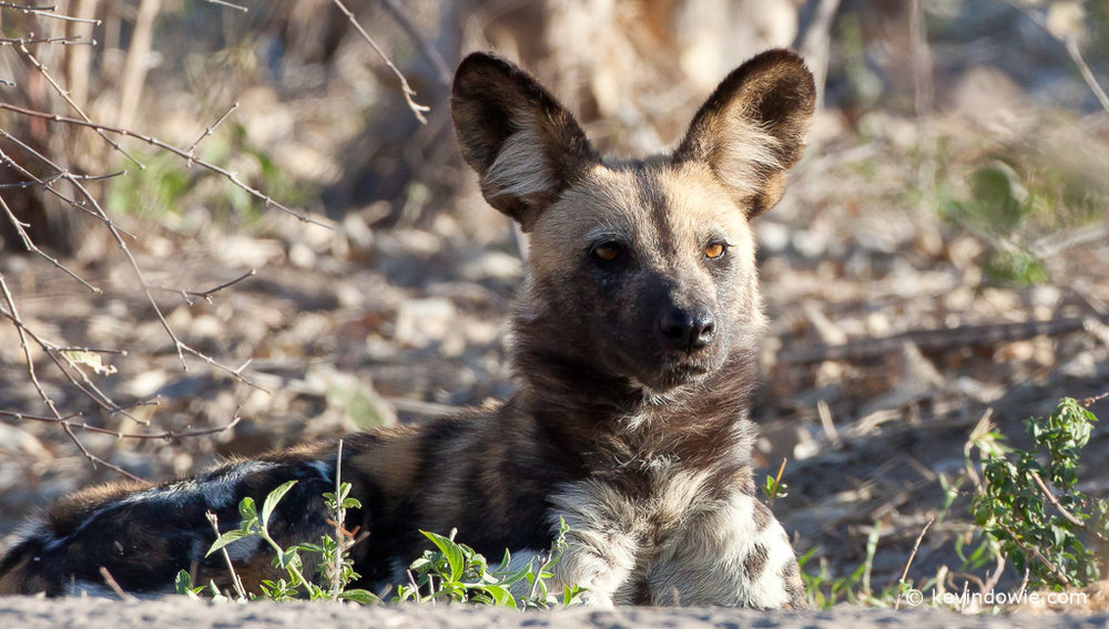 African wild dog, adult at rest, Savuti Channel, Botswana.