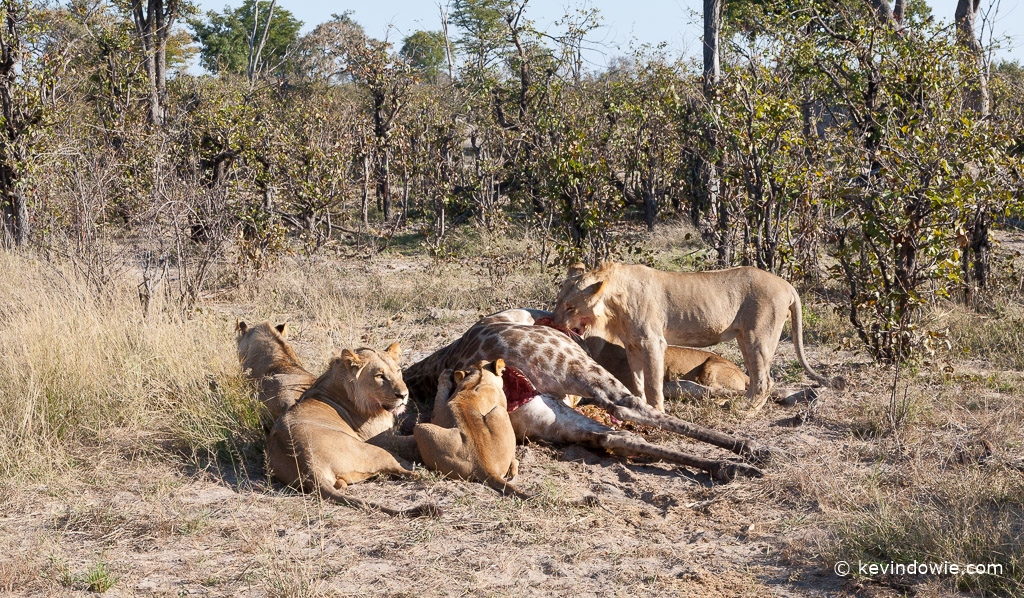 Lions on kill, Savuti Channel, Okavango Delta, Botswana.