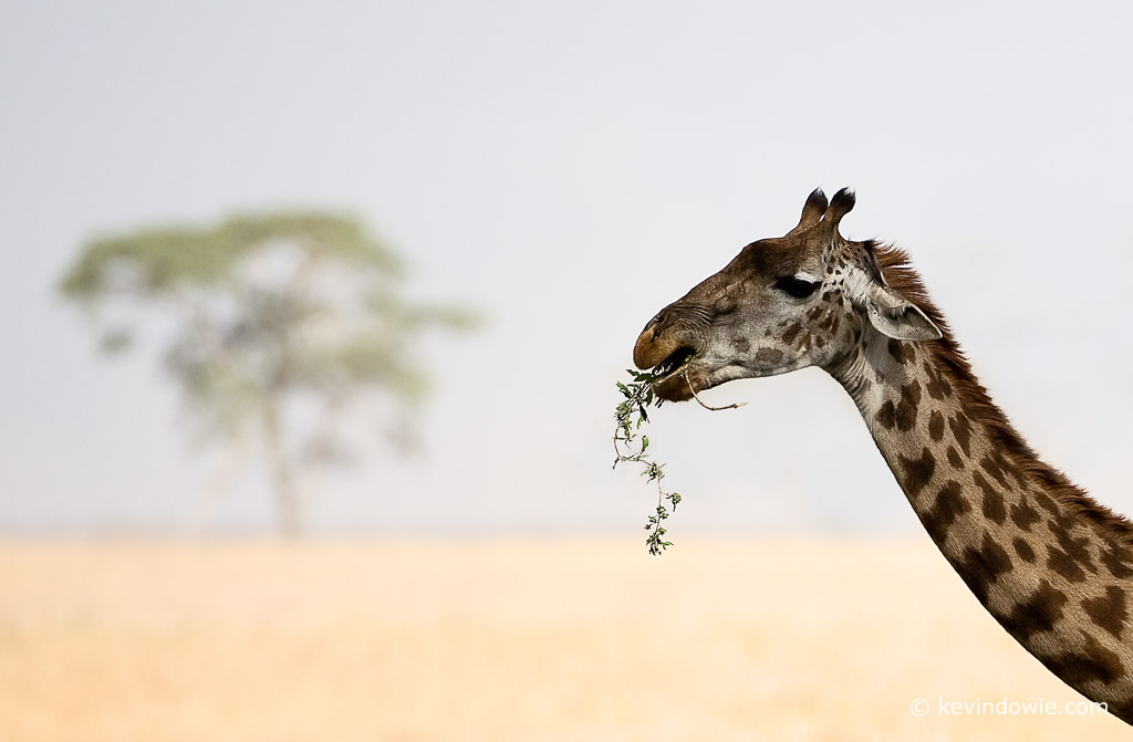 Giraffe eating leaves, Serengeti National Park.