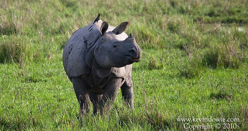 Single-horned Rhinoceros, Kaziranga National Park.