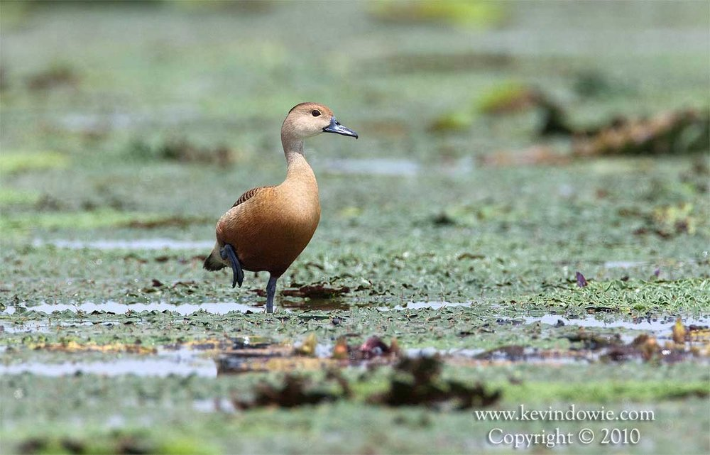 Lesser Whistling Duck, Assam Provence, India