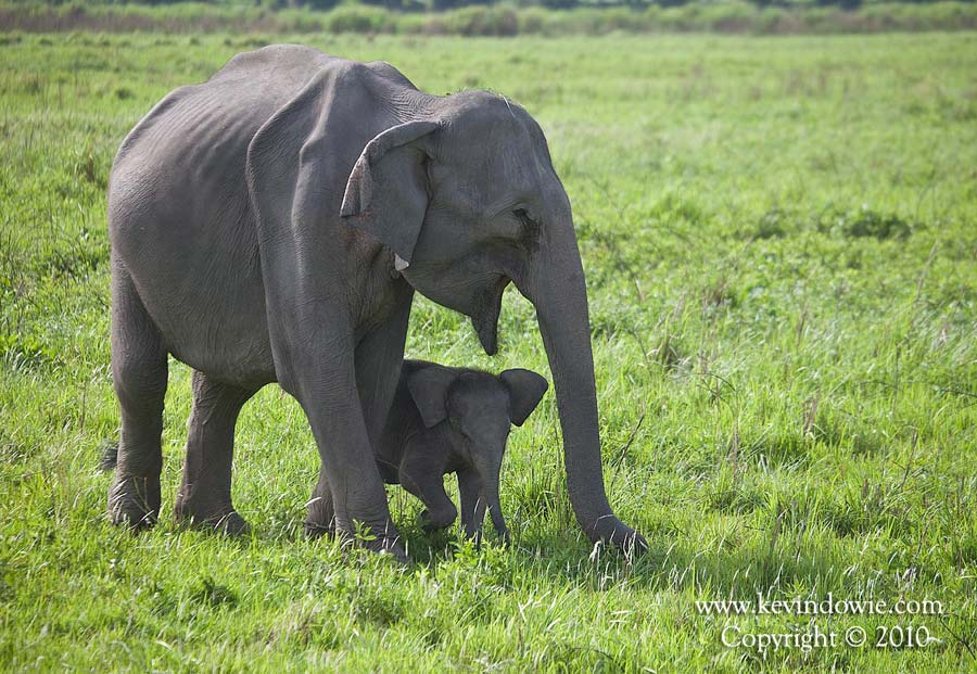 Elephant mother and baby, Kaziranga National Park, India