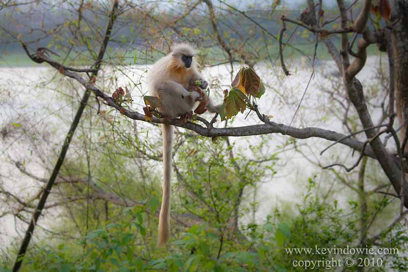 Golden Langur in tree.