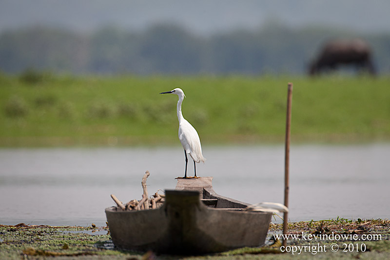 Egret perched on boat, Assam Provence.