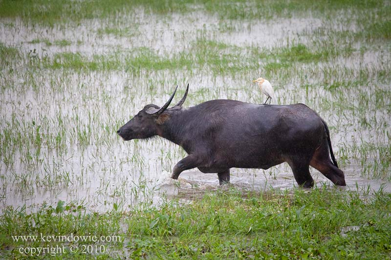Cattle Egret hitches a ride on a Water Buffalo.