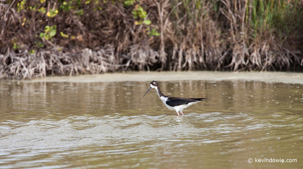 Hawaiian Stilt, Kahana Pond Bird Sanctuary
