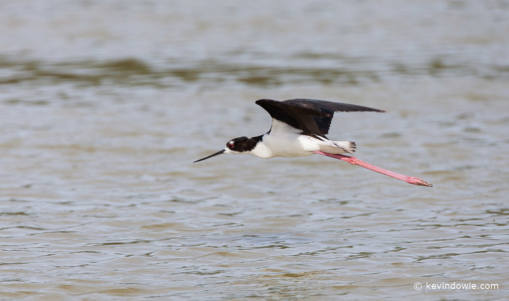 Hawaiian Stilt flying.