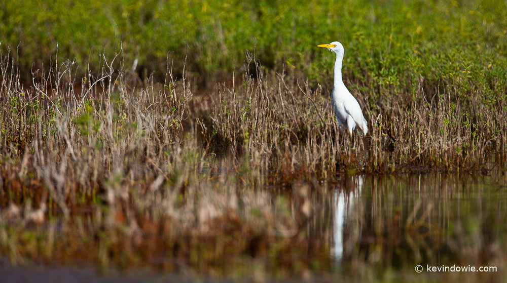 Cattle Egret, Hanapepe Salt Ponds, Kaua'i