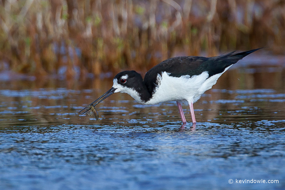 Hawaiian Stilt with catch, Hanapepe Salt Ponds