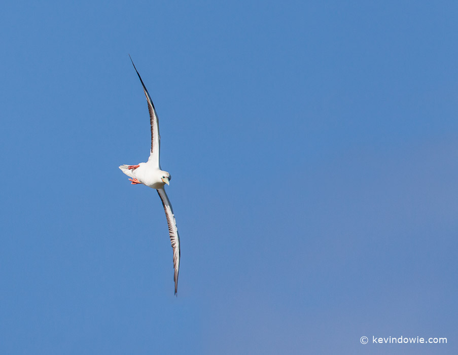Red-footed Booby in flight, Kilauea Point, Kaua'i