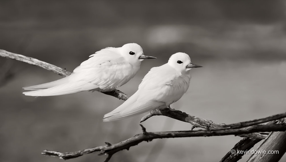 White Terns on branch, Midway Atoll.