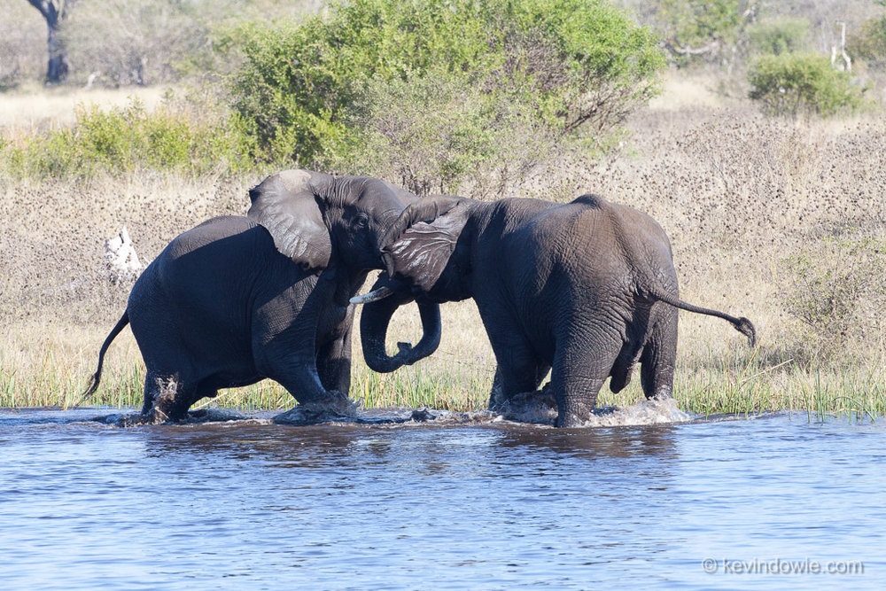 Contest. Young bull elephants, Savuti Channel, Botswana.