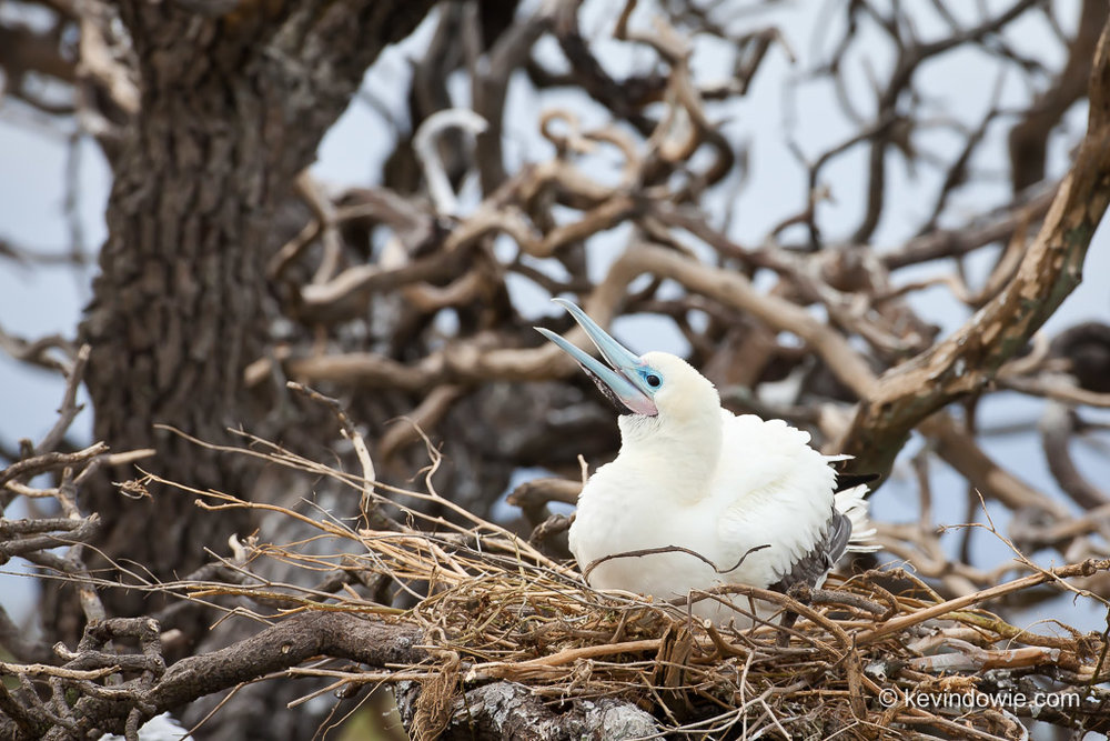 Red-Footed Booby on nest, Midway Atoll