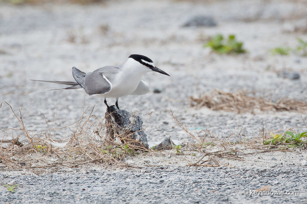 Gray-backed Tern (Sterna lunata), perched on a stone, Midway Atoll