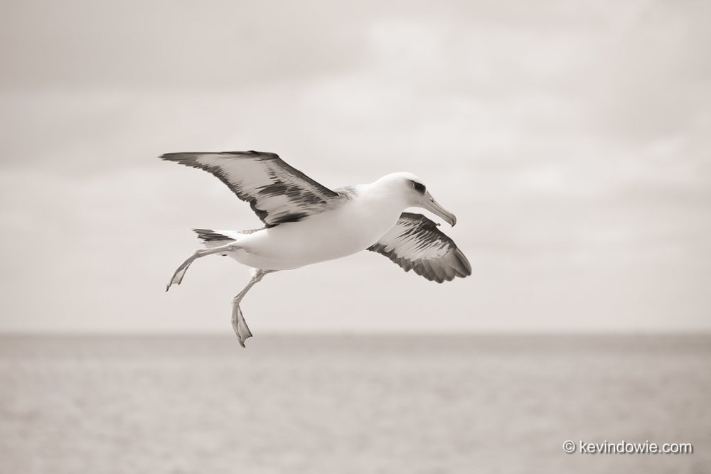 Laysan Albatross preparing to land,  Midway Atoll