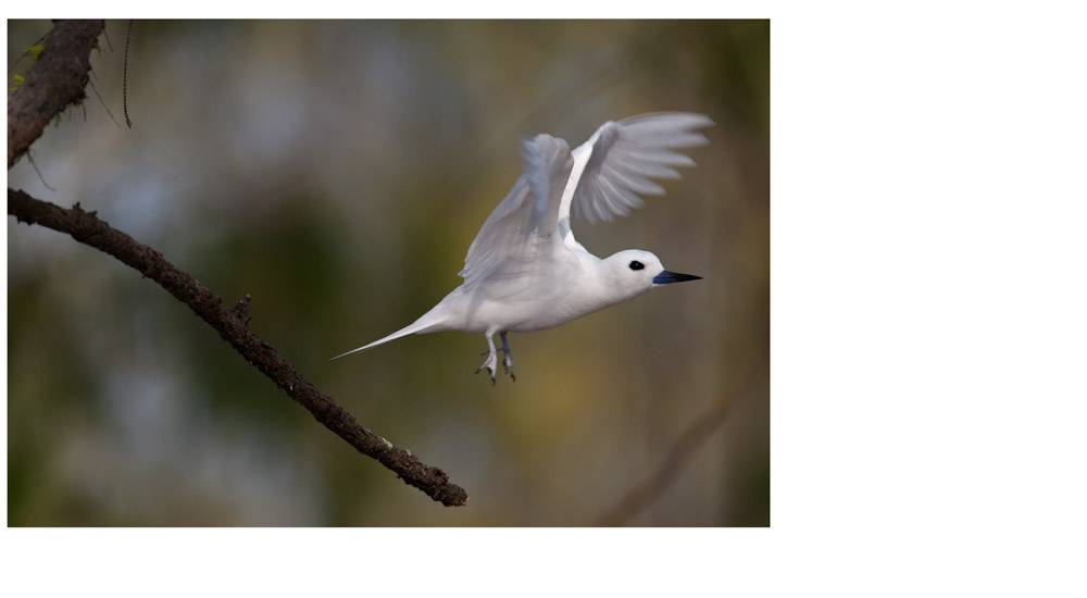 White Tern - Expanded canvas
