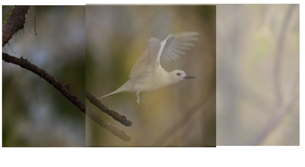 White Tern - right side image added to file