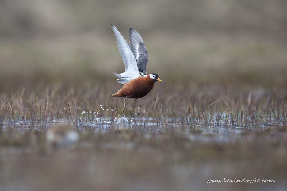 Red Phalarope take off, Svalbard