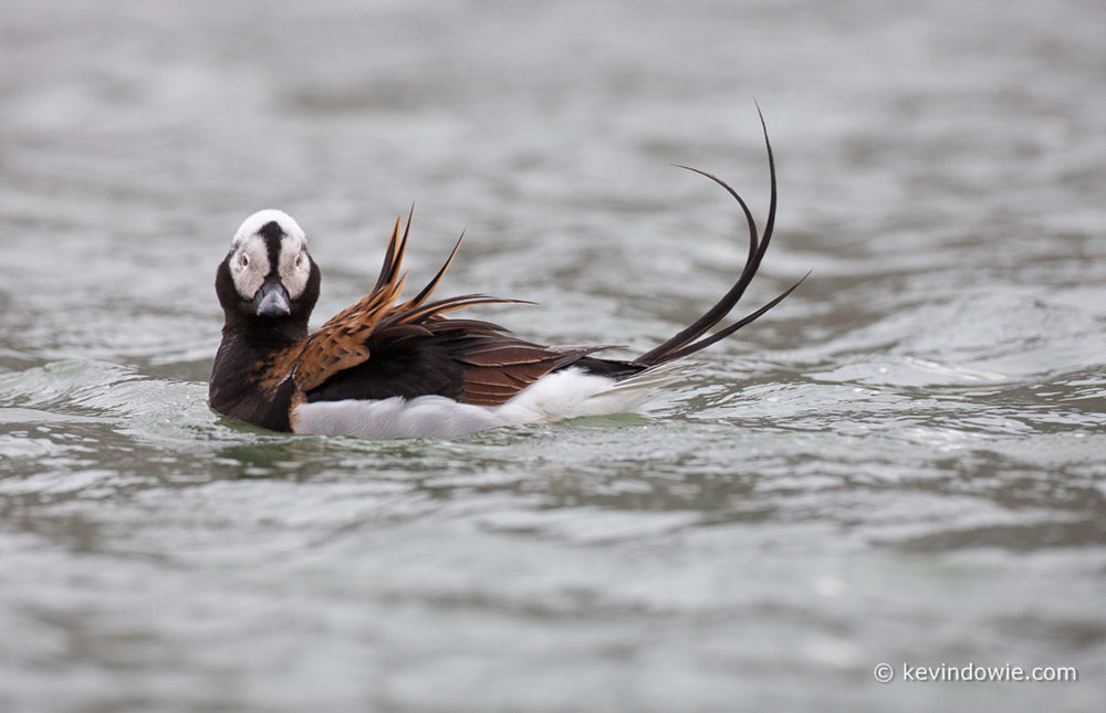 Long Tailed Duck on water, Svalbard.