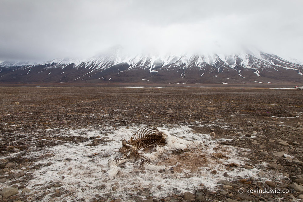 Reindeer carcass in the landscape, Svalbard.