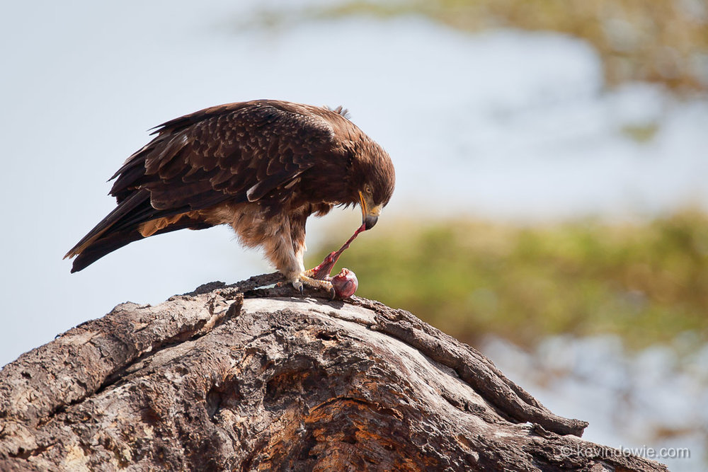 Eagle eating lizard, Tanzania.