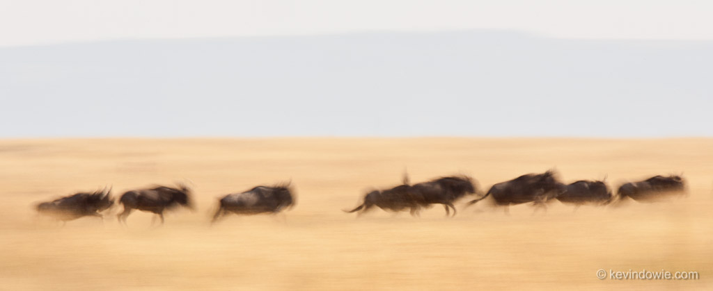 Wildebeest blur, Serengeti National Park, Tanzania.