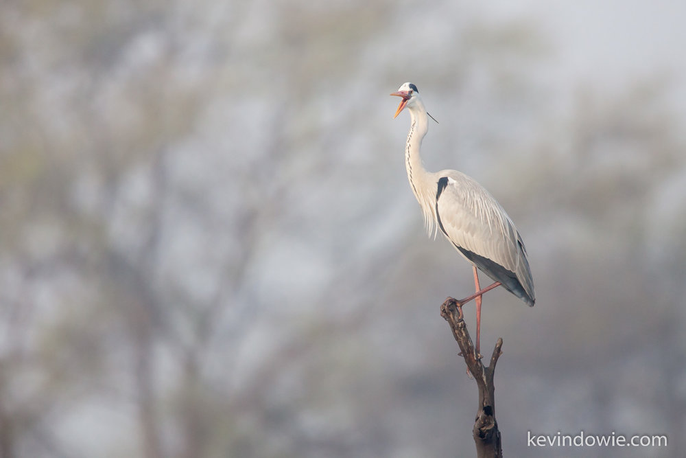 Grey Heron, Keoladeo Natonal Park, Bharatpur, India