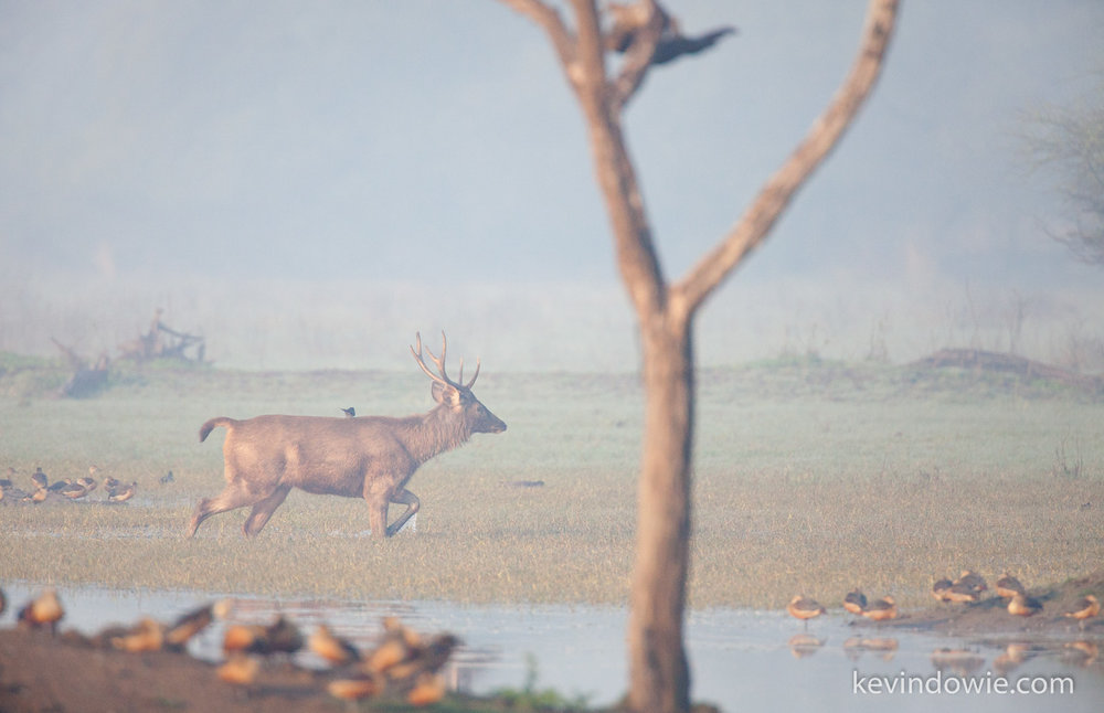 Deer walking through swamp.