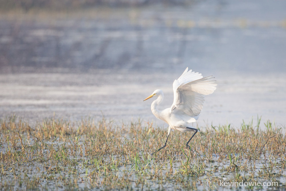 "Egret ""hot-stepping it"" across marshland, Keoladeo National Park."