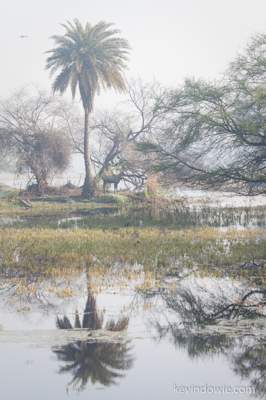 Antelope under palmtree, Keoladeo National Park, Bharatpur, India
