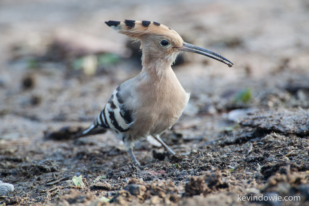 Hoopoe, Keoladeo National Park, Bharatpur, India.