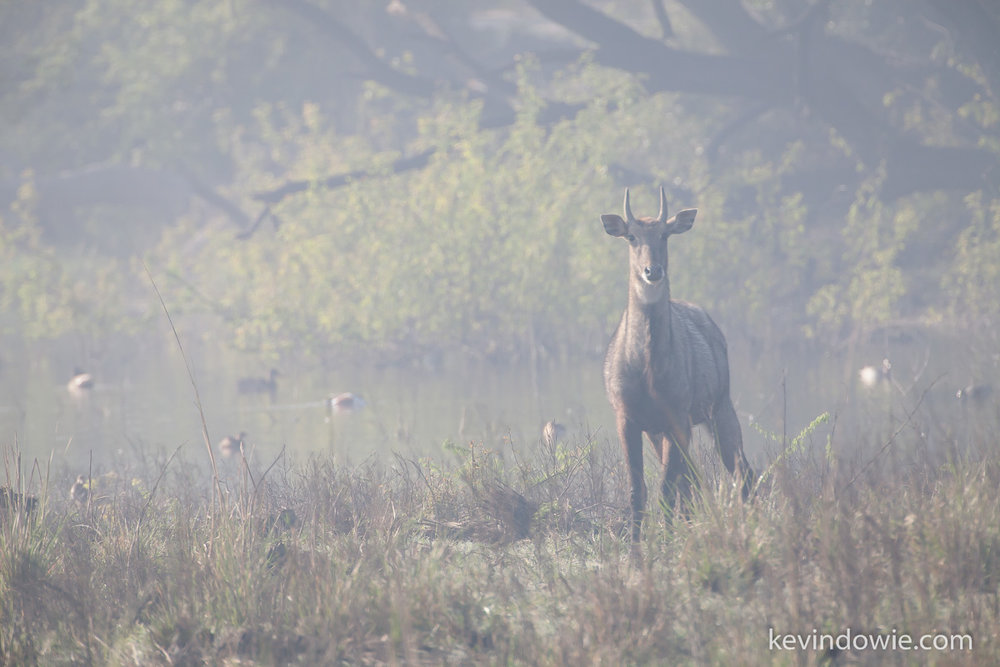 Antelope in early morning light, Keoladeo National Park.