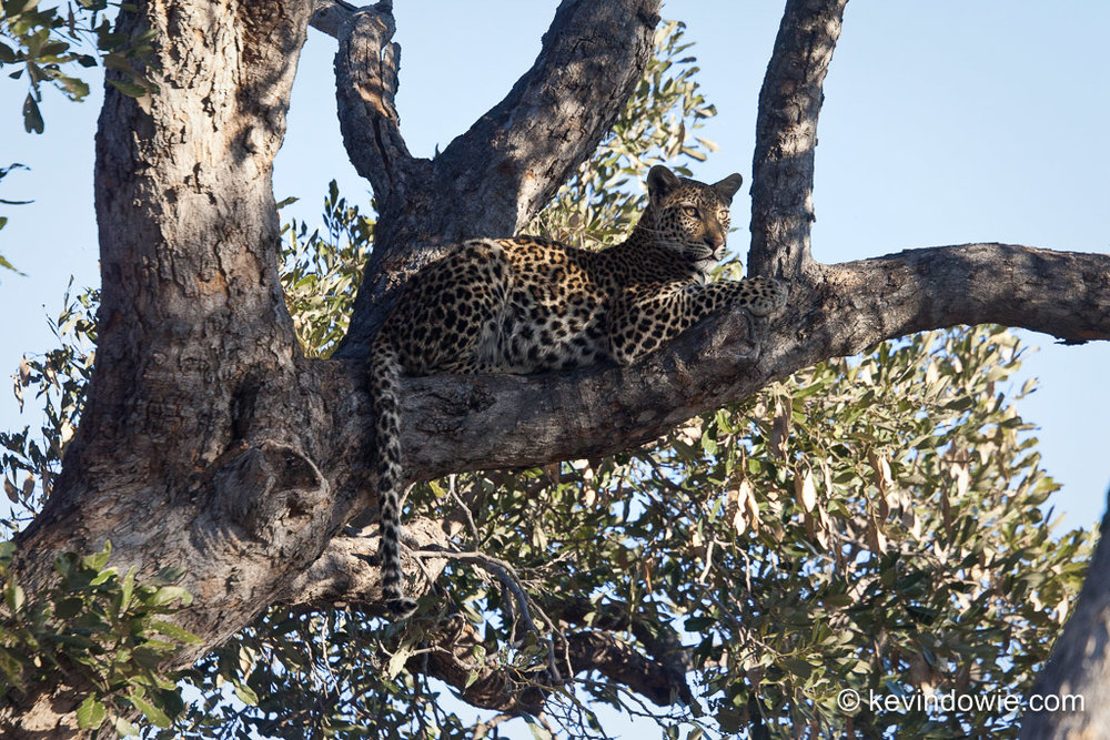 Leopard lying on tree branch