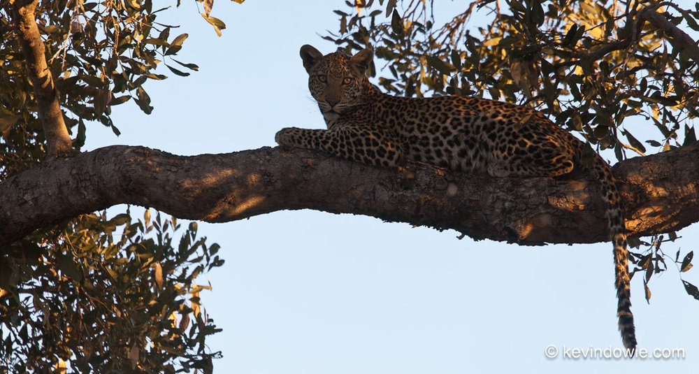 Leopard lying on tree branch, Okavango Delta