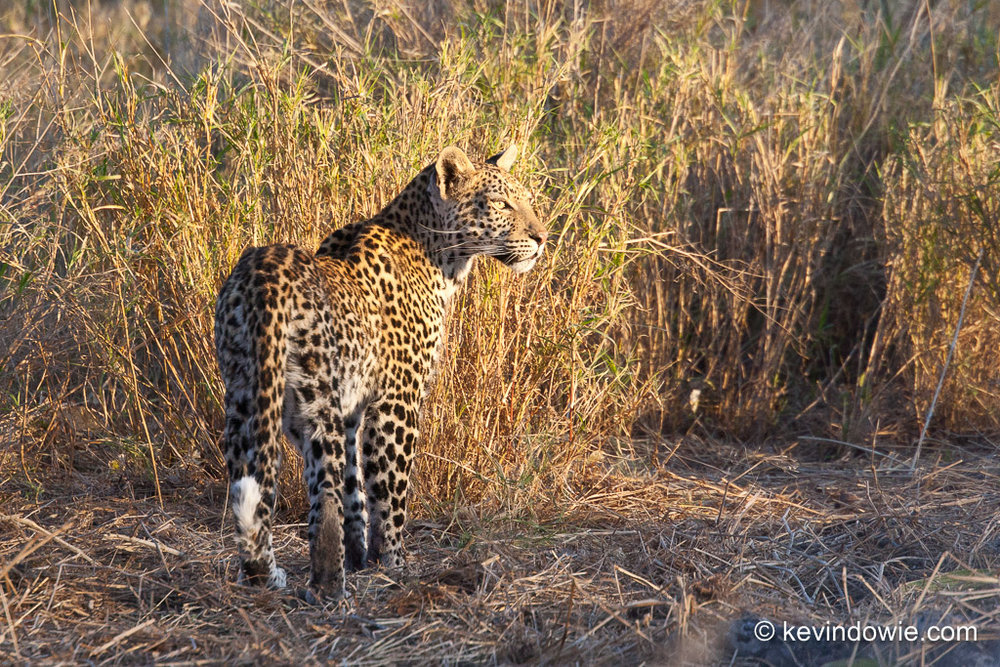 Leopard in golden light