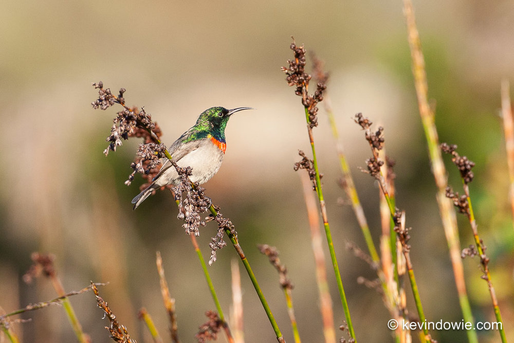Southern Double-Collared Sunbird, perched on grass head, Kirstenbosch.