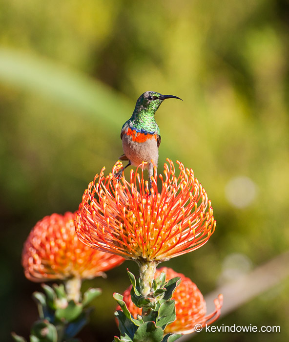 Southern Double-Collared Sunbird on Protea, Kirstenbosch.